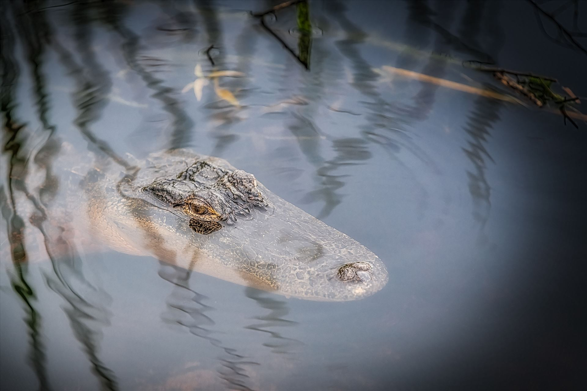 Florida Alligator - Florida Alligator in St. Andrews State Park, Panama City, Florida by Terry Kelly Photography