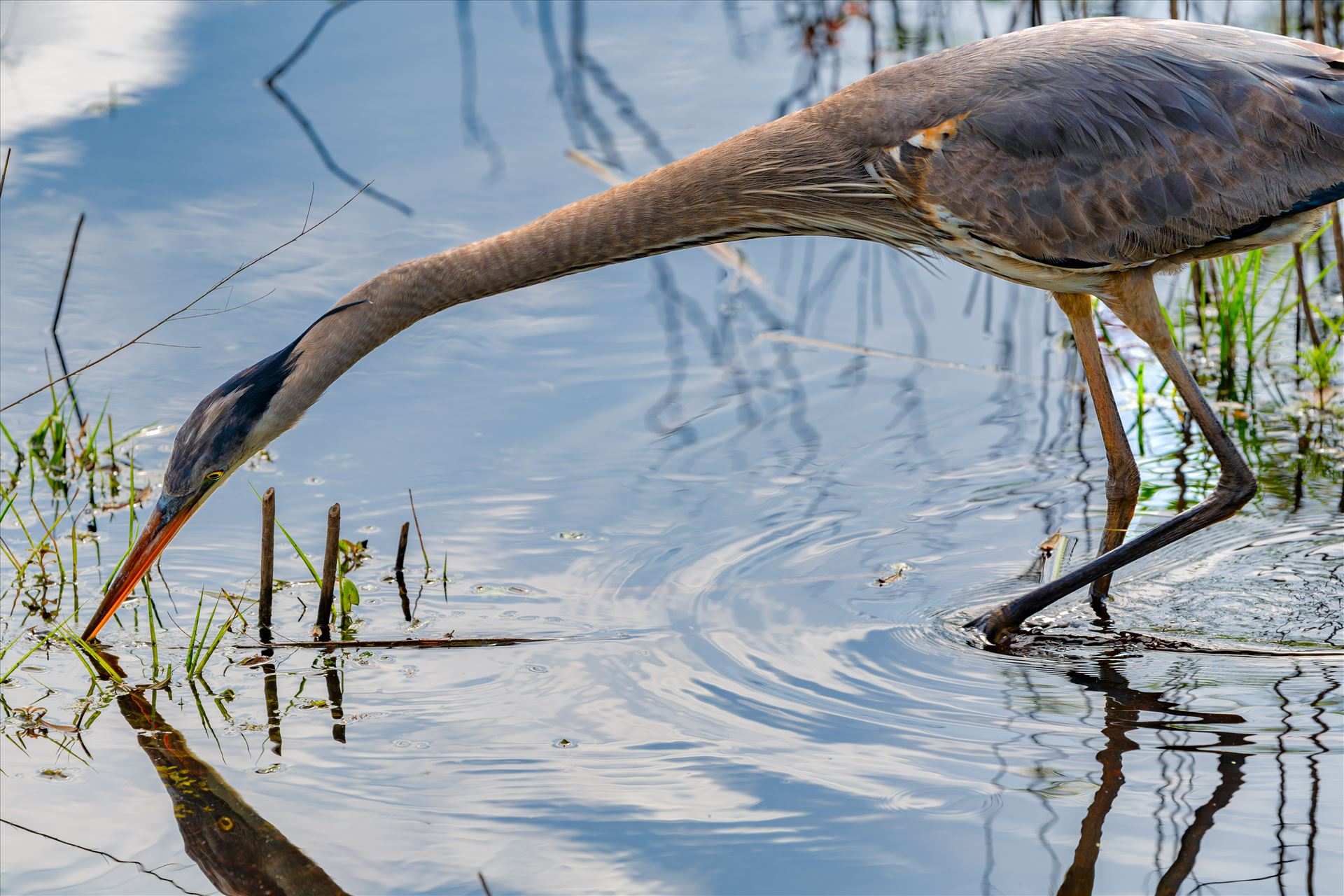 great blue heron - great blue heron fishing in gator lake at St. Andrews State Park, Florida by Terry Kelly Photography