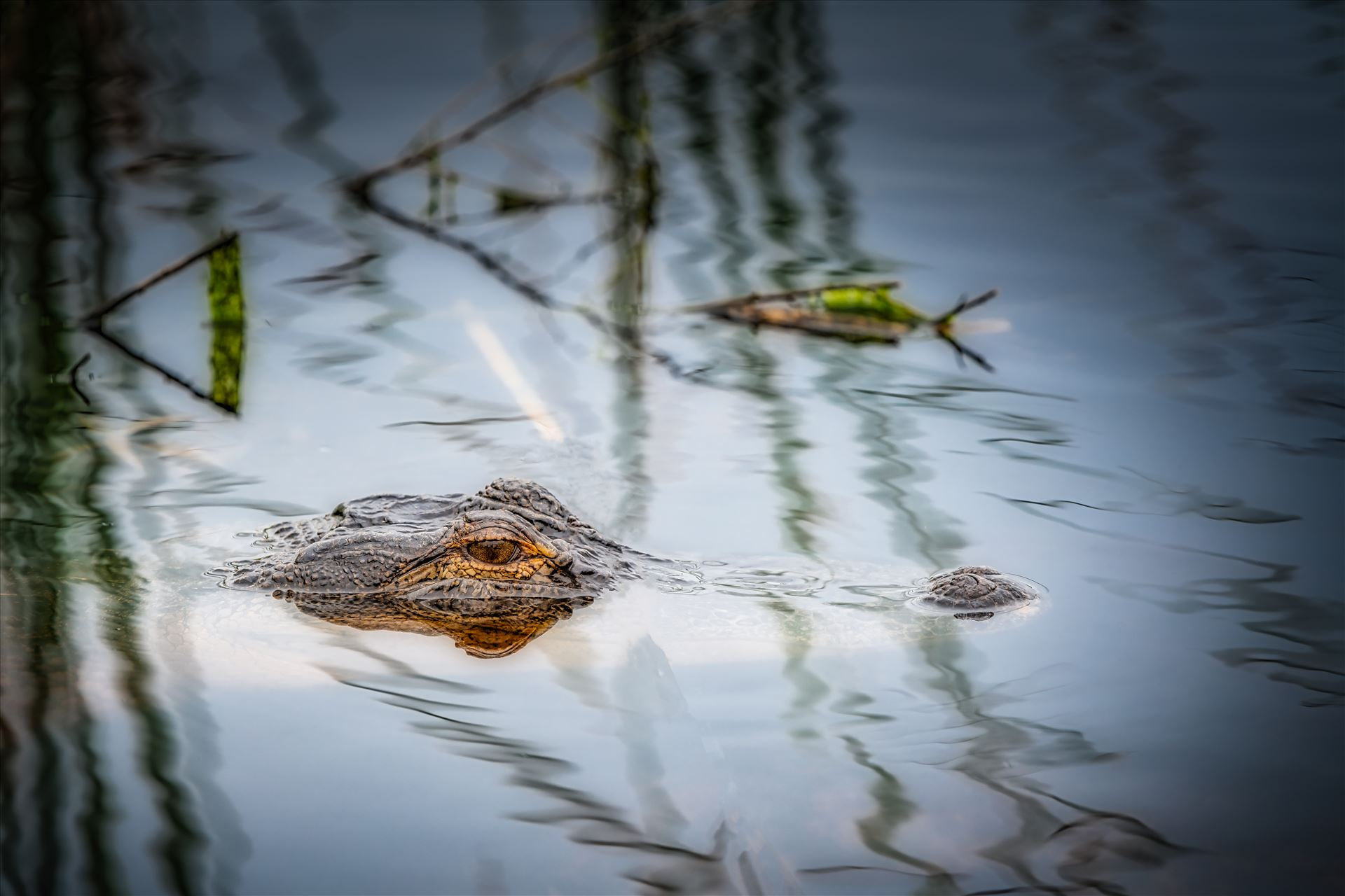 Alligators and crocodiles - aggressive, alligator, american, animal, aquatic, beautiful, carnivore, closeup, coldblooded, conservation, crocodile, danger, dangerous, deadly, eye, ferocious, florida, head, hunter, jaws, large, marsh, mouth, muscular, nature, outdoors, park, portrait,