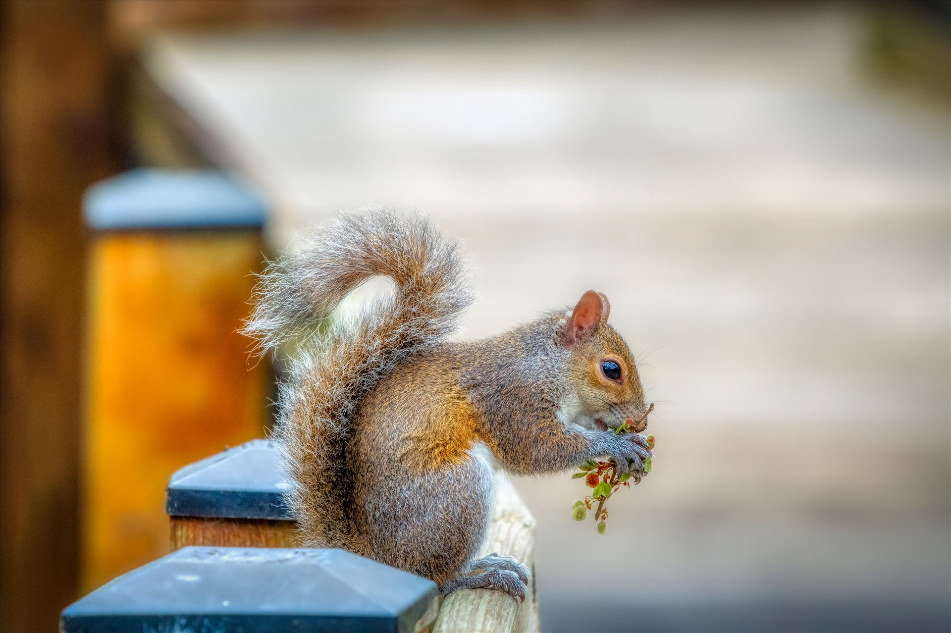 squirrels - animal, wildlife, rodent, fence, nature, cute, wild, outdoor, squirrel, outdoors, furry, portrait, close up, squirrels, eastern gray squirrel, gray squirrel, fluffy, grey squirrel, eastern grey squirrel, closeup, tail, bushy, grey,
