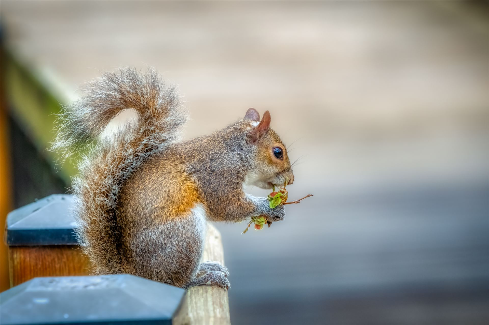 squirrel - Squirrel eating while sitting on fence by Terry Kelly Photography