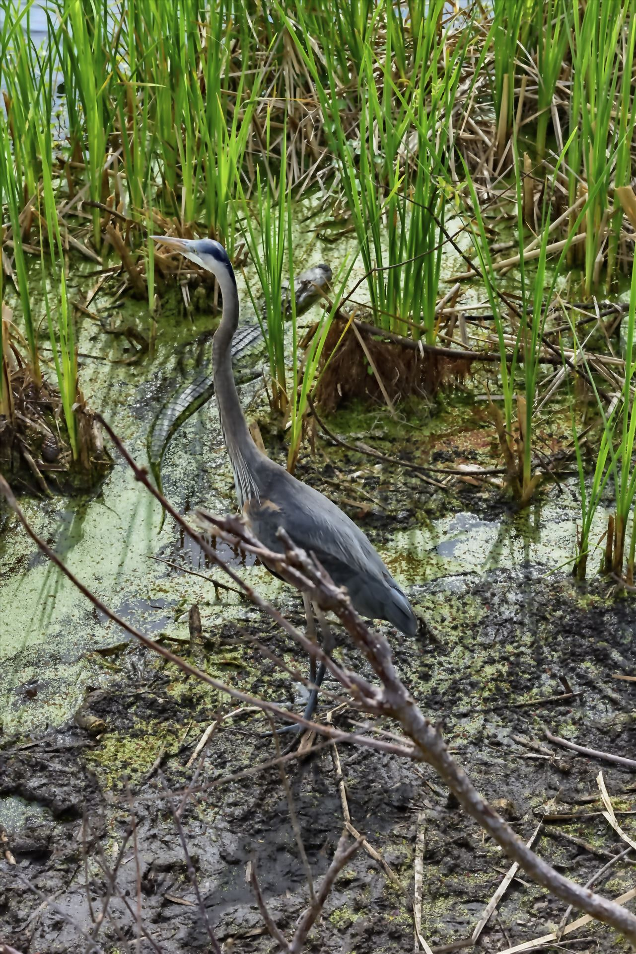 great blue heron and gator at gator lake st. andrews state park 8108376.jpg -  by Terry Kelly Photography