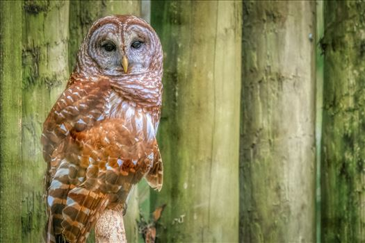 Perched Barred Owl staring