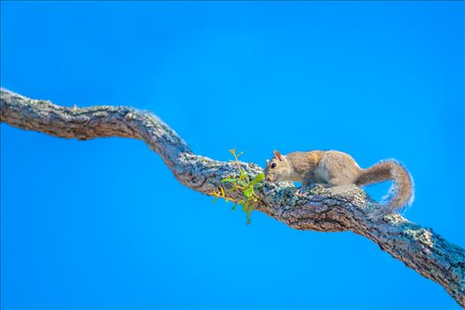 squirrel on oak tree limb