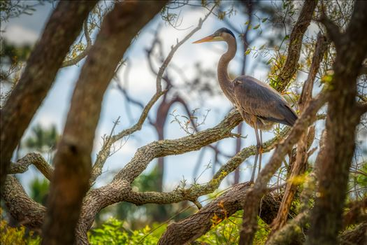 great blue heron standing on oak tree near gator lake at St. Andrews State Park, Florida