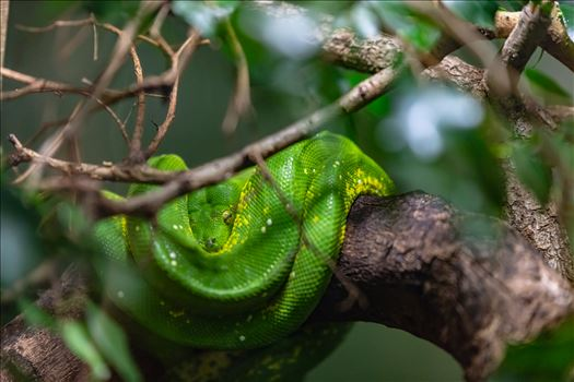 green tree python wrapped around tree limb