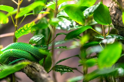 Side striped pit viper wrapped around small branch of tree