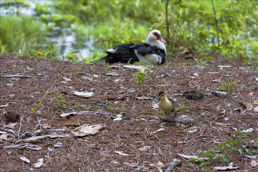 muscovy duckling and moma
