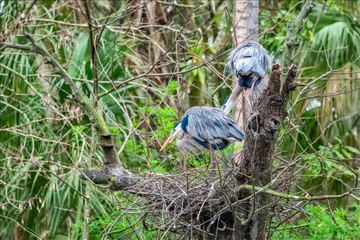 two great blue heron looking over their nest