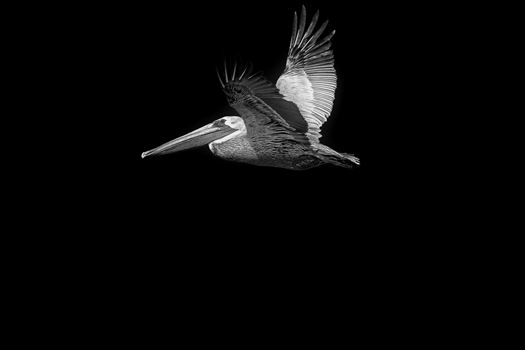 Black & white photo of brown pelican in flight