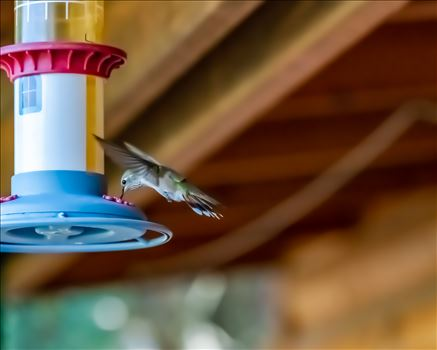 Hummingbird drinking sugar water from feeder. Cloudcroft New Mexico, Lincoln National Forest