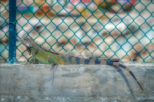 Iguana sitting on concrete next to green chainlink fence