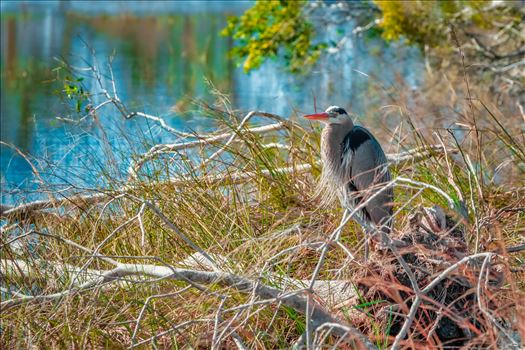 Great Blue Heron at Buttonbush Marsh, St. Andrews State Park. Panama City, Florida