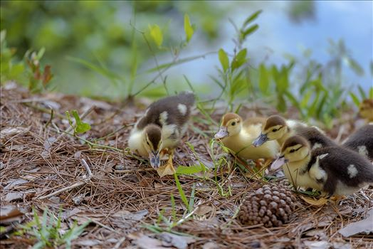 muscovy ducklings at lake caroline in panama city florida