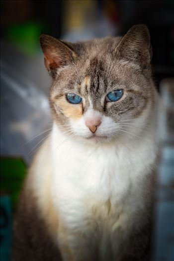 portrait close up of house cat with blue eyes