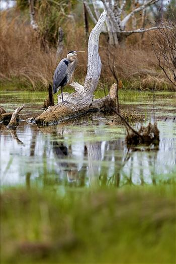 Preview of great blue heron standing on log in the button marsh area of st. andrews state park, panama city, florida 8108364.jpg