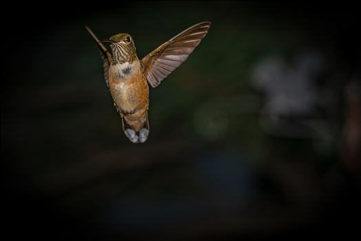 Hummingbird in flight, photo taken in Cloudcroft New Mexico, Lincoln National Forest