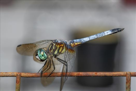 close up macro photography of green and blue dragonfly that landed on an old rusty wire fence