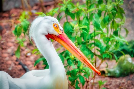 closeup head shot of white pelican