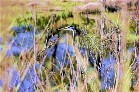 Great blue heron at St. Andrews State Park, Panama City Beach, Florida