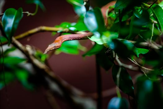 madagascar leaf nosed snake crawling out of small bush.