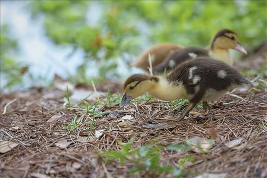 close us of muscovy duckling