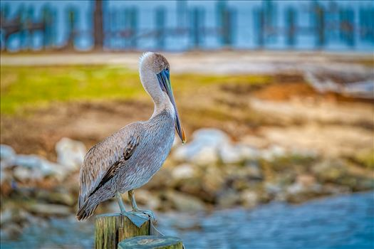 brown pelican standing on post