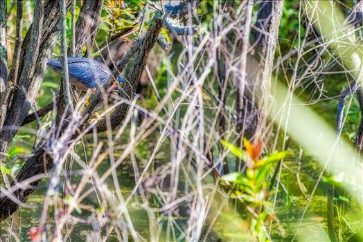 Green Heron stalking food in gator lake at St. Andrews State Park