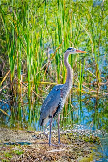 great blue heron stand on bank of gator lake at St. Andrews State park, Panama City, Florida