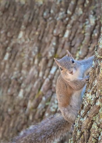 squirrel on oak tree