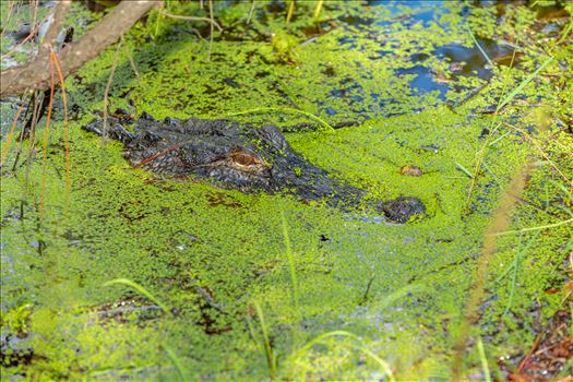 Scary that I didn't see this guy until I was right in front of him! On the path beside gator lake in St. Andrews state park, Florida